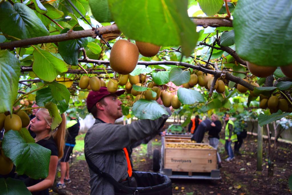 Kiwifruit-Picking-Work-NZ
