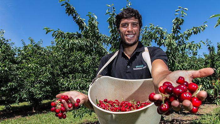 Resultado de imagen de cherry picking